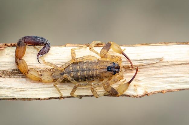 Изображение коричневого скорпиона на коричневой сухой ветви дерева. насекомое. animal.