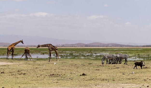 Животные в национальном парке амбосели - кения