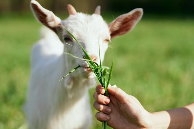 Животные в природе с зеленой травой, козой и собакой.