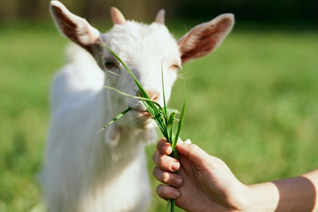 Animals in nature with green grass, goat and dog.