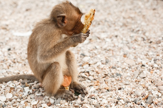 Animals and wildlife little monkey or macaque sits on shore and eats pineapple fruit Premium Photo