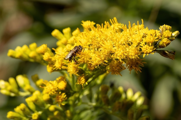 Anise goldenrod plant of the species solidago chilensis with selective focus