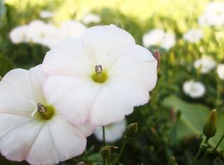 Aniseed flower white