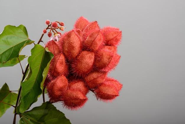 Annatto 다발(urucum), 그 씨앗은 자연적인 식용 색소로 사용되며 중립적인 배경을 가진 스튜디오에서 촬영됩니다.