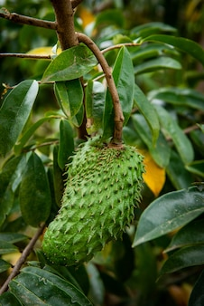 Annona muricata l.soursop herbs that are capable of treating cancer.