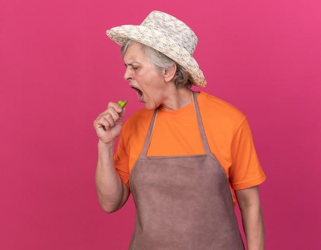 コピースペースでピンクの壁に分離された壊れた唐辛子を保持し、見てガーデニング帽子をかぶってイライラする年配の女性の庭師