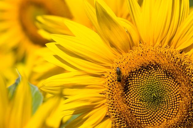 Однолетний подсолнечник с желтыми лепестками на сельскохозяйственном поле, крупный план соцветий подсолнечника во время опыления насекомыми