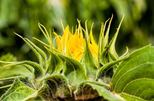 農地に黄色い花びらを持つ一年生のヒマワリ、閉じた芽を持つ日当たりの良い花のクローズアップ