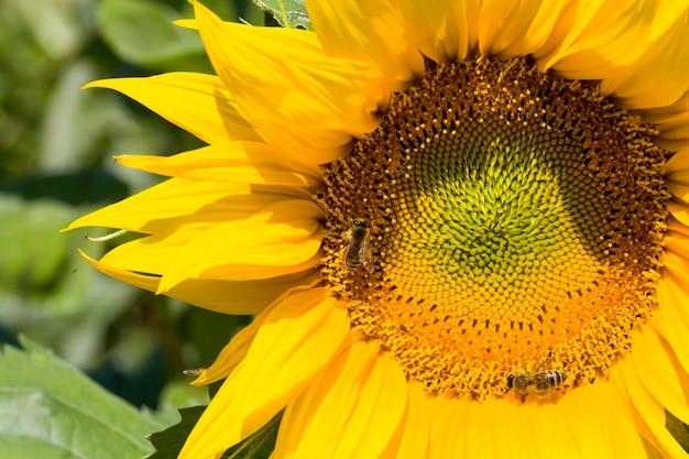 농업 분야에 노란색 꽃잎이있는 연간 해바라기, 열린 꽃 봉오리와 맑은 꽃의 근접 촬영
