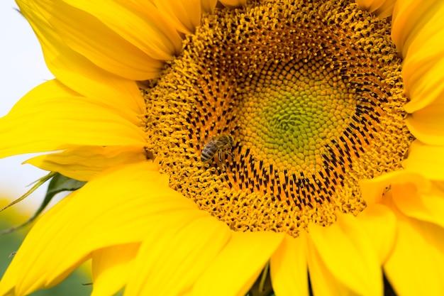 農地に黄色い花びらを持つ一年生のヒマワリ、開いた芽を持つ日当たりの良い花のクローズアップ