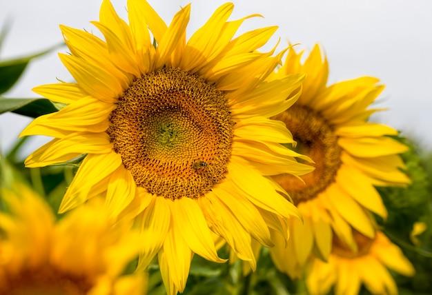 농업 분야에 노란 꽃잎을 가진 연간 해바라기