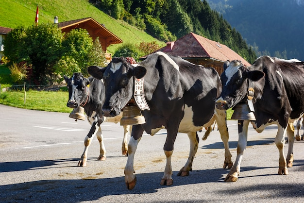 Annual transhumance with cows