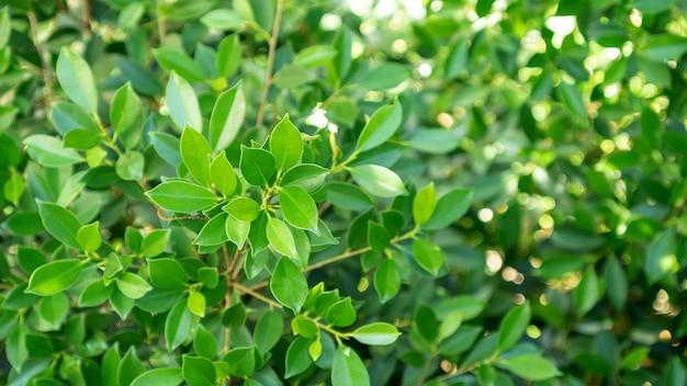 Закройте вверх зеленого дерева annulata фикуса.