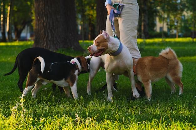 Анонимная женщина гуляет с американским питбулем в парке, собака встречает других собак на закате