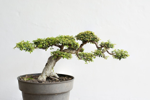Another chinese elm tree bonsai