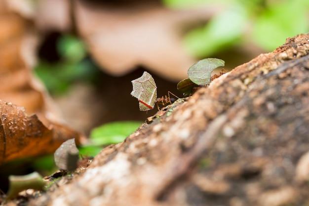 地面に葉を運ぶアリ