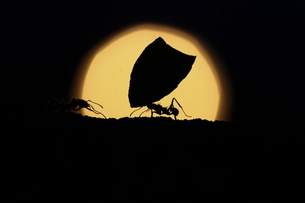 Ant carrying leaves at sunset.