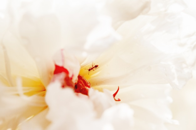 Ant in center of white peony flower with morning dew. natural background with blooming flower and insect inside it.