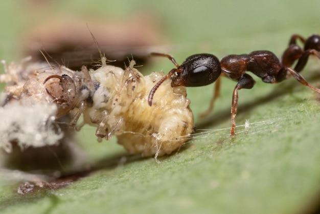 アリの幼虫、マクロ撮影を供給