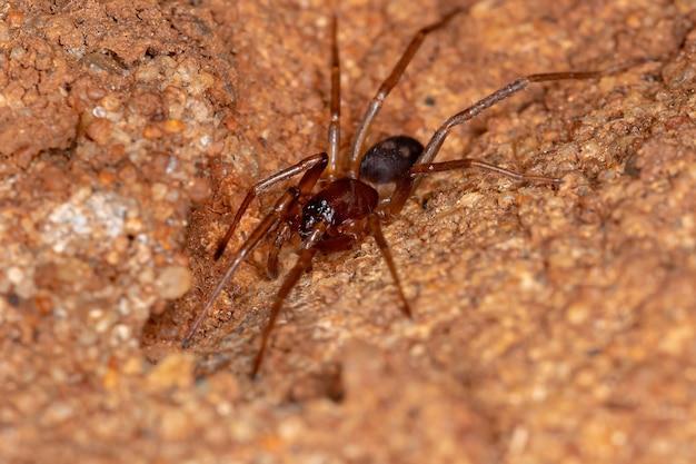 Ant mimic sac spider of the species falconina gracilis