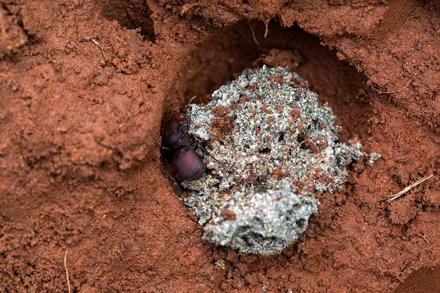 둥지에 개미 여왕