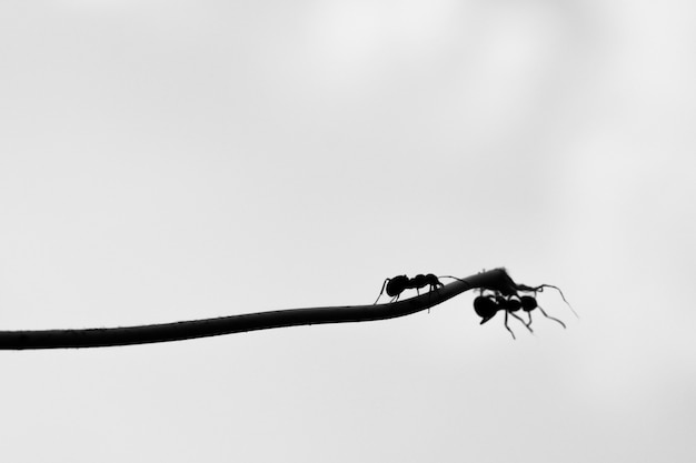 An ant rescues another ant from falling off a branch copy space