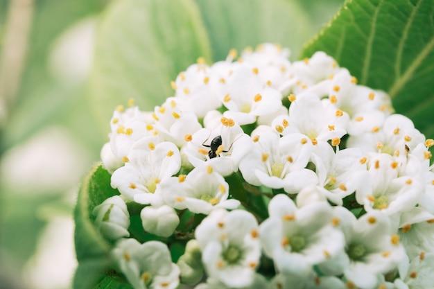 Ant on white spirea flowers