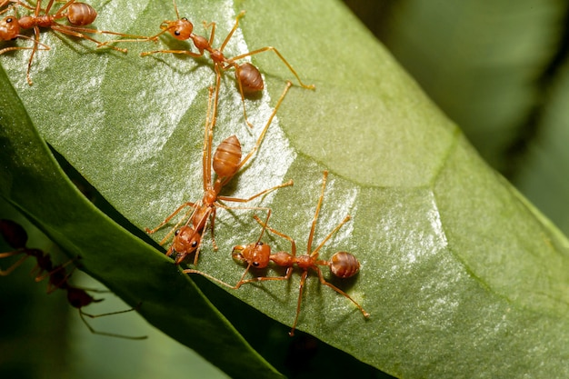 Ant worker are building nest on green leaf