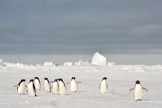 Antarctic adelie penguins walking