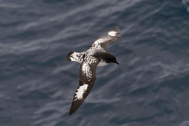 南極ミズナギドリ(thalassoica antarctica)