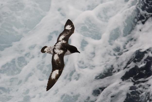Антарктический буревестник (thalassoica antarctica)