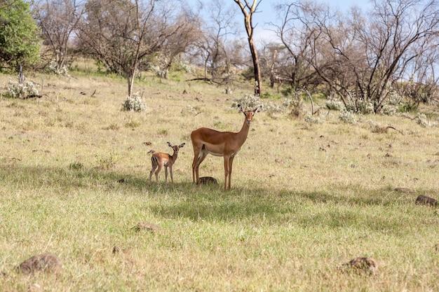 アンテロープと彼女の赤ちゃんの草の背景