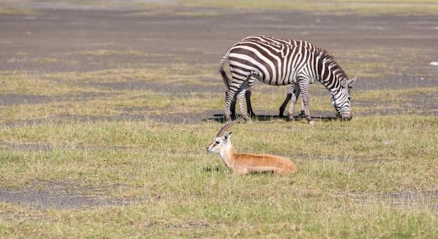 Антилопа и зебра на траве