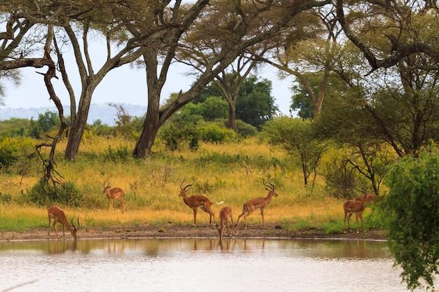 Антилопа у водопоя. небольшой пруд в саванне. танзания, африка