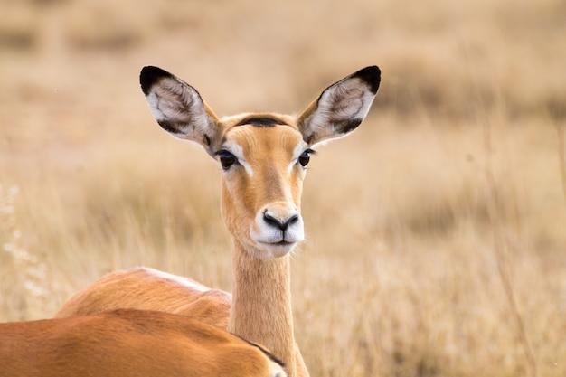 アンテロープをクローズアップ。セレンゲティ国立公園、タンザニア、アフリカ