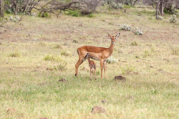 Antelope and her cub on grass