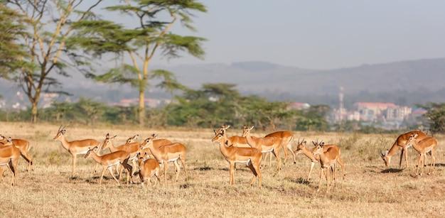 Антилопа в кении, африка