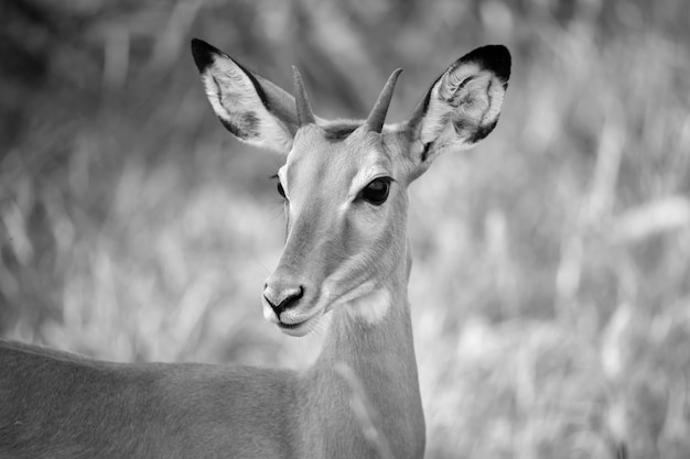 Antelope is standing beween the plants in the savannah