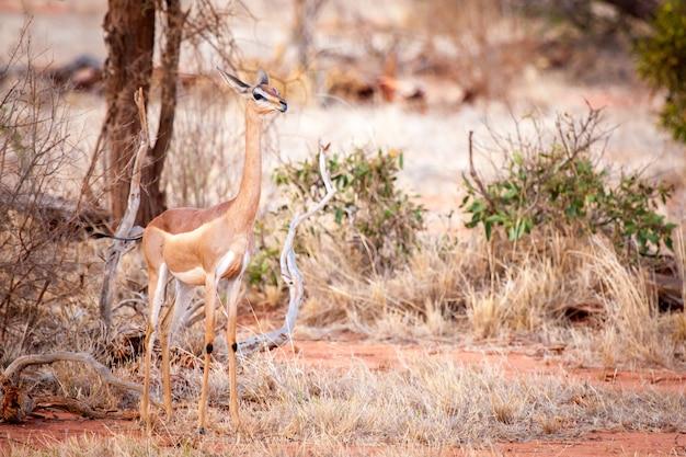Antelope is standing in the savannah of kenya, impala