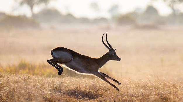 Antelope jumping