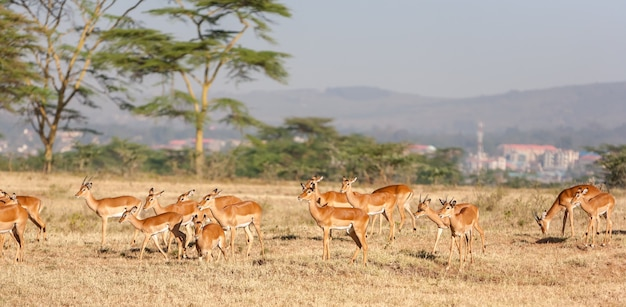 Antelope in kenya, africa