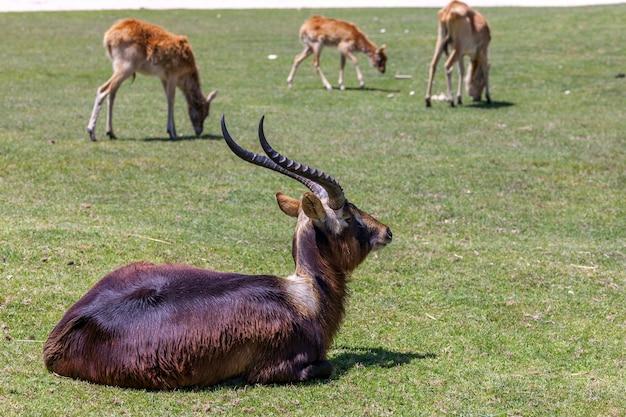 Антилопа лежит на зеленой траве