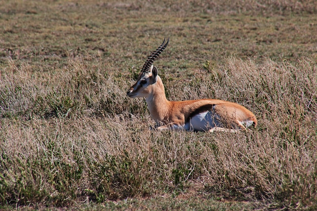 Antelope on safari in kenia and tanzania, africa