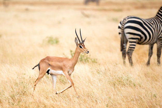 Antelope and some zebras in the savannah