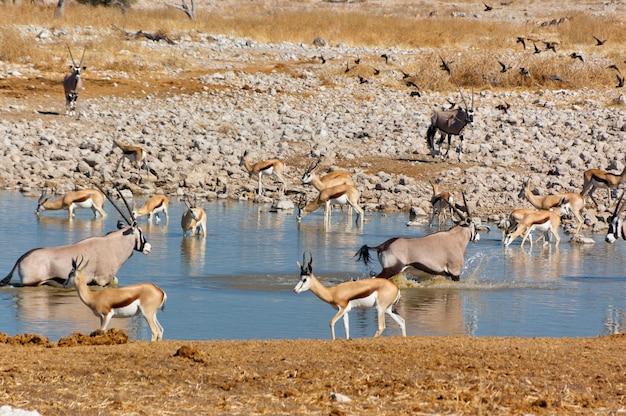 滝holeから飲むカモシカ。アフリカの自然と野生生物保護区、ナミビア、エトーシャ