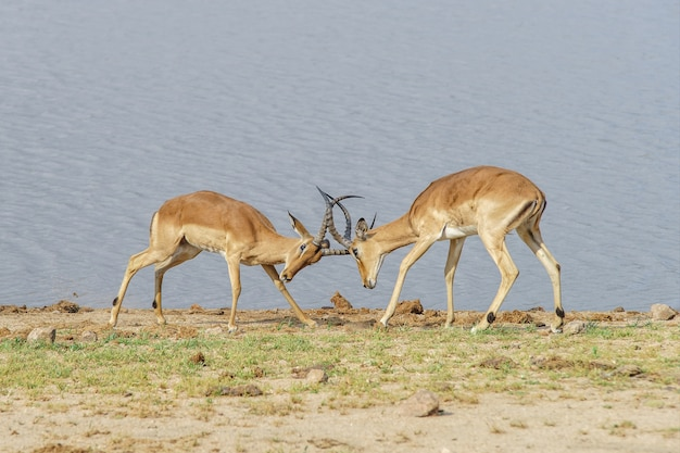 Antelopes fighting on the lakeshore during daytime