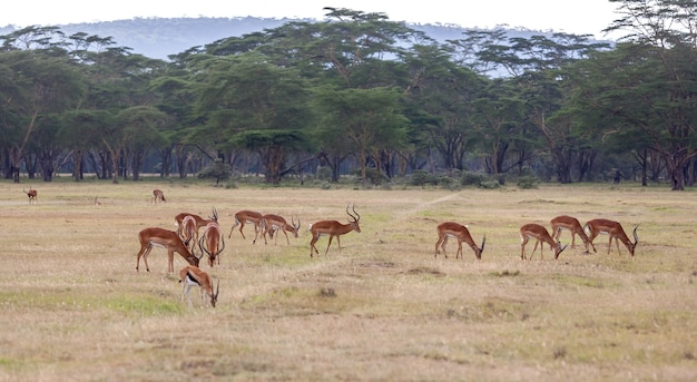 Antelopes on a of green grass