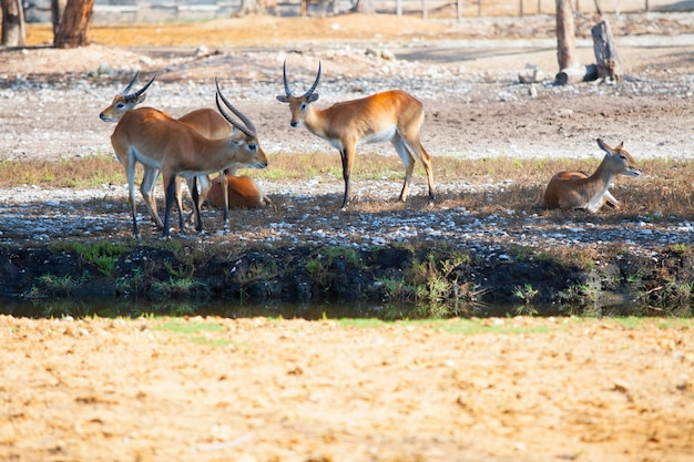 Antelopes having a rest in a park