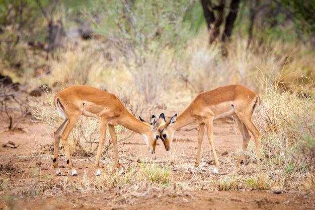 Antelopes is skirmish in the savannah of kenya