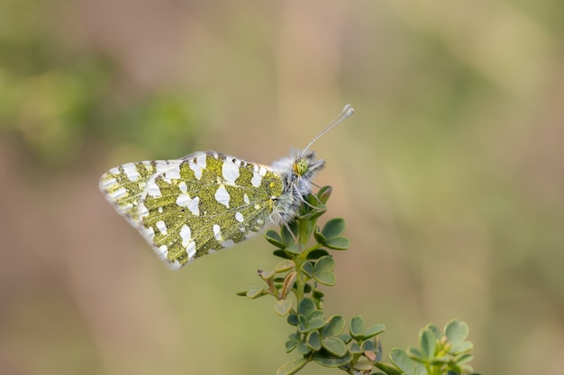 Anthocharis cardamines - это бабочка из семейства pieridae.